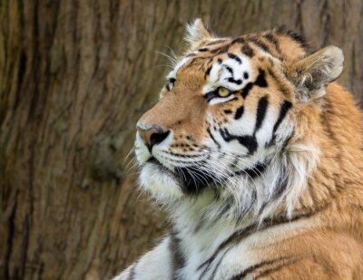 Fototapete Amur-Tiger, Panthera tigris ataxisch. Profilkopf schoss mit brauner Barke im Hintergrund.