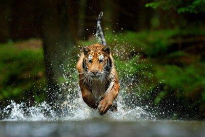 Fototapete Amur tiger playing in the water, Siberia. Dangerous animal, tajga, Russia. Animal in green forest stream. Siberian tiger splashing water.