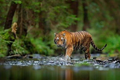 Fototapete Amur Tiger zu Fuß in Fluss Wasser. Gefahr Tier, Tajga, Russland. Tier im grünen Waldbach. Grauer Stein, Flusströpfchen. Sibirischer Tiger Spritzwasser. Tiger Wildlife Szene, wilde Katze, Natur Lebensr