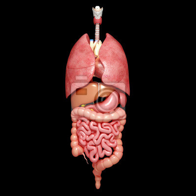 Anatomie aller organe im menschlichen körper fototapete ...