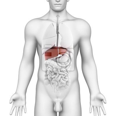 Anatomie aller organe im menschlichen körper mit hervorgehobenen ...