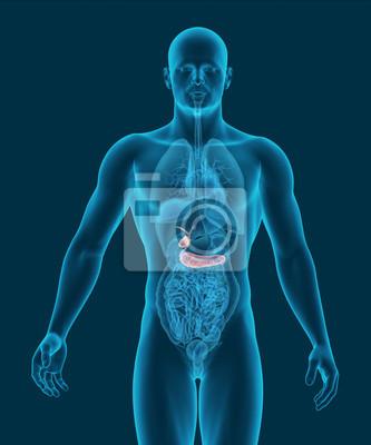Anatomie der menschlichen gallenblase und bauchspeicheldrüse ...