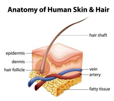 Anatomie der menschlichen haut und haar fototapete • fototapeten ...