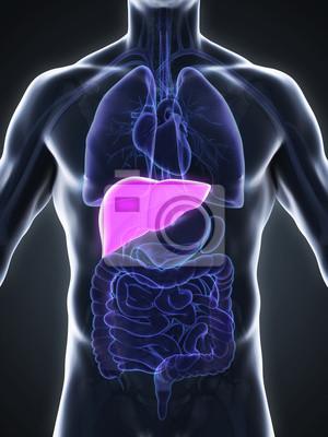 Anatomie der menschlichen leber fototapete • fototapeten auch ...
