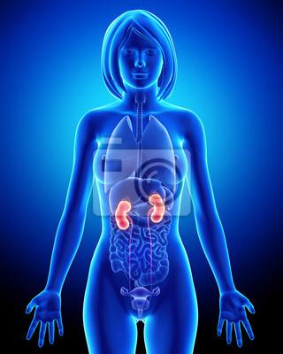 Anatomie der niere in der weiblichen fototapete • fototapeten Pore ...