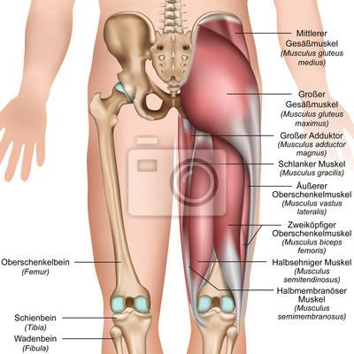 Anatomie der oberschenkel und gesäßmuskulatur von hinten fototapete ...