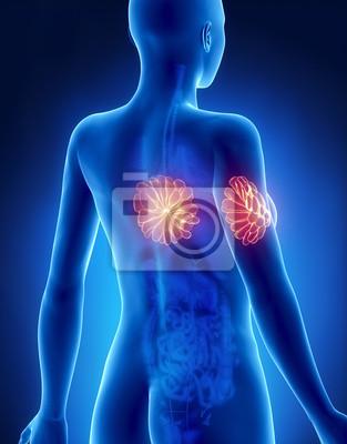 Anatomie der weiblichen brust x-ray-ansicht von hinten fototapete ...
