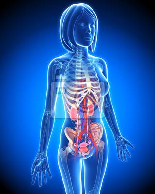 Anatomie der weiblichen harnwege in blau fototapete • fototapeten x ...