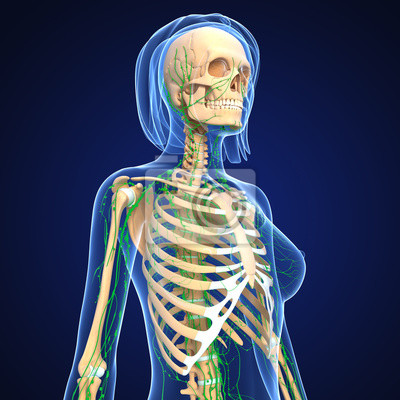 Anatomie der weiblichen lymphsystem in blau fototapete • fototapeten ...