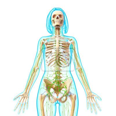 Anatomie der weiblichen lymphsystem in der vorderansicht fototapete ...