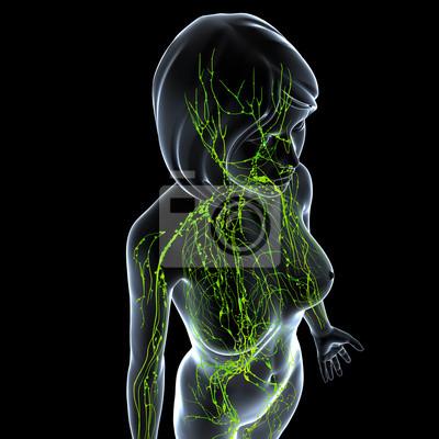 Anatomie der weiblichen lymphsystem in grau fototapete • fototapeten ...
