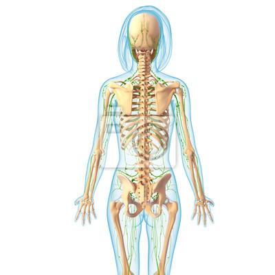 Anatomie der weiblichen lymphsystem mit skelett fototapete ...
