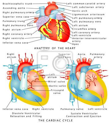 Anatomie des herzens. das herz fototapete • fototapeten pulmonalen ...