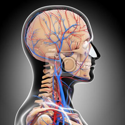 Anatomie des kreislaufsystems fototapete • fototapeten Spitze ...