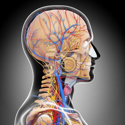 Anatomie des kreislaufsystems und des nervensystems fototapete ...