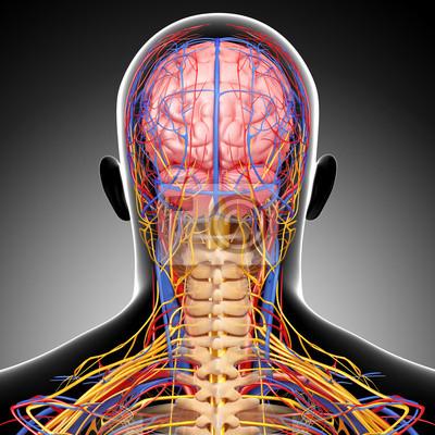 Anatomie des kreislaufsystems und des nervensystems mit gehirn ...