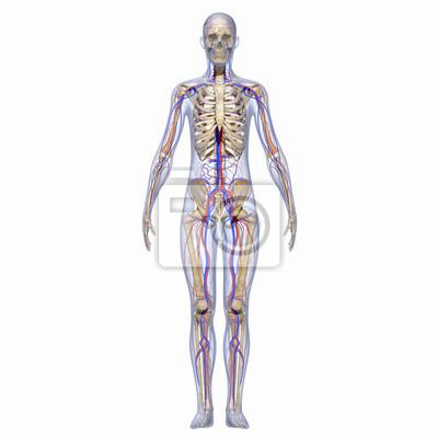 Anatomie des menschen fototapete • fototapeten Doppelpunkt, Darm ...