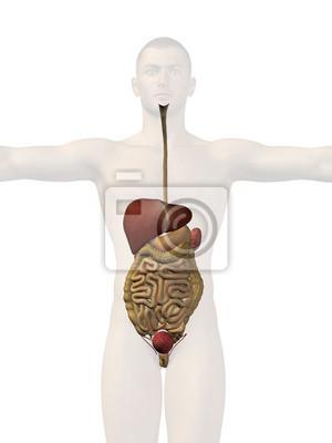 Anatomie des menschen körper organe fototapete • fototapeten Anhang ...