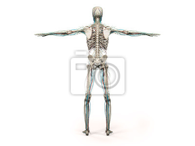Anatomie des menschen voller körper, kopf, schultern und oberkörper ...