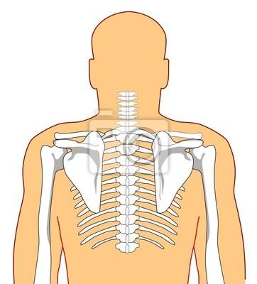Anatomie des menschen zeigt das skelett von der rückseite fototapete ...