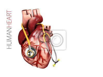 Anatomie des menschlichen herzens mit stethoskop. organsymbol ...