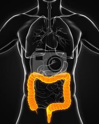 Anatomie des menschlichen kolons fototapete • fototapeten Magen ...