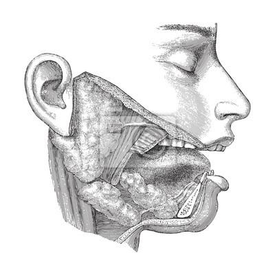 Anatomie des menschlichen kopfes - nase, mund und hals / vintage ...