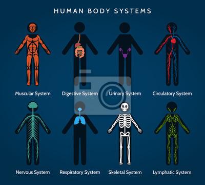 Anatomie des menschlichen körpers. körpersysteme. skelett- und ...