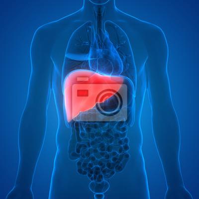 Anatomie des menschlichen körpers organe (leber) fototapete ...