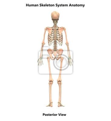Anatomie des menschlichen skelettsystems (ansicht von hinten ...