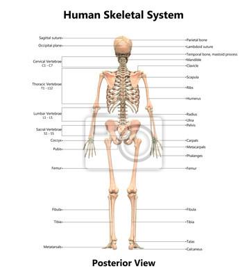 Anatomie des menschlichen skelettsystems mit detaillierten ...