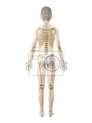Anatomie eines jungen - das skelett fototapete • fototapeten ...