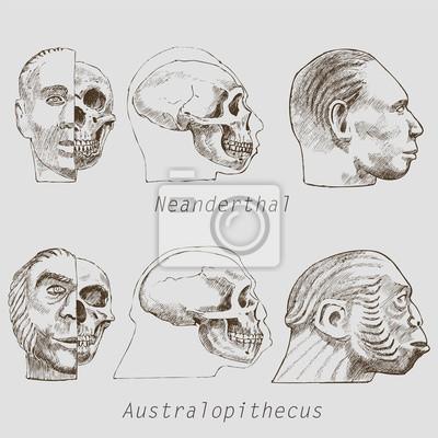 Anatomie eines schädels von australopithecus und neandertaler ...
