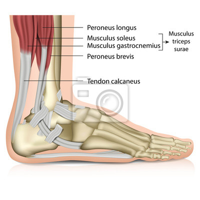 Anatomie fuß - muscles, perenoal anatomie fototapete • fototapeten ...