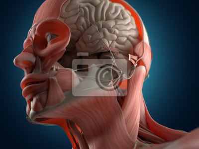 Anatomie kopf muskeln und gehirn. 3d abbildung. fototapete ...
