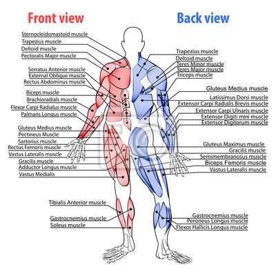 Anatomie, muskeln fototapete • fototapeten anatomisch, Muskulatur ...