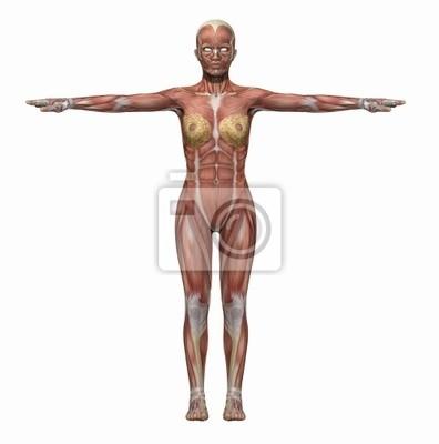 Anatomie muskeln körper frau fototapete • fototapeten brawny, wissen ...