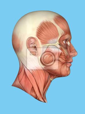 Anatomie seitenansicht der hauptfläche muskeln eines mannes ...