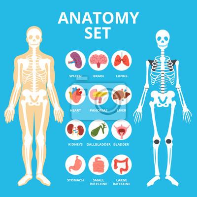 Anatomie-set, anatomie infografiken. menschliche interne organe ...