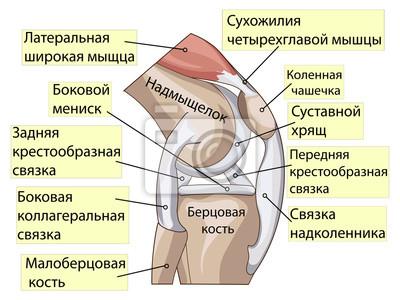 Anatomie. struktur kniegelenk-vektor fototapete • fototapeten Fibula ...