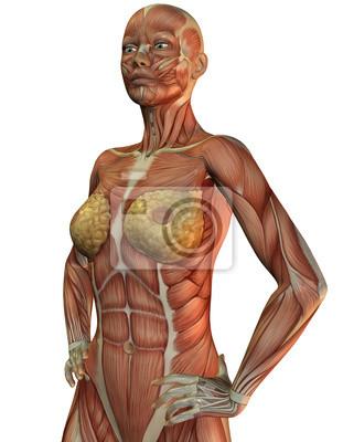 Anatomie und muskeln einer frau fototapete • fototapeten ...