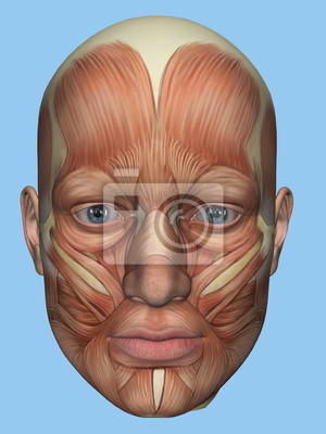 Anatomie vorderansicht der hauptgesichtsmuskeln eines mannes ...