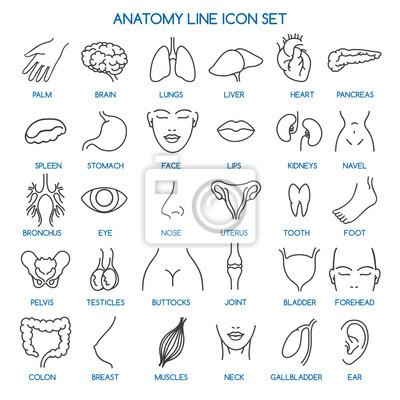 Anatomielinie ikonen. menschliche körperteile linie symbole und ...