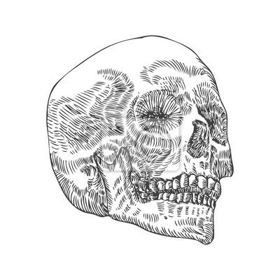 Anatomische schädel, verwitterte und museum qualität, detaillierte ...
