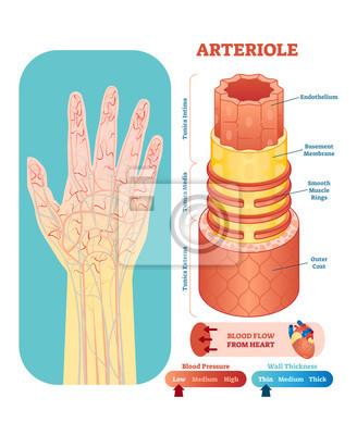 Anatomischer vektorillustrationsquerschnitt arteriole ...