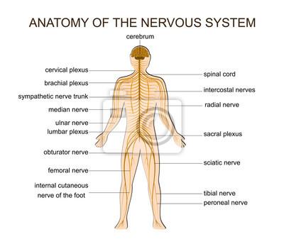 Anatomy of the nervous system fototapete • fototapeten spekulativ ...