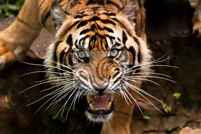 Fototapete angry sumatran tiger