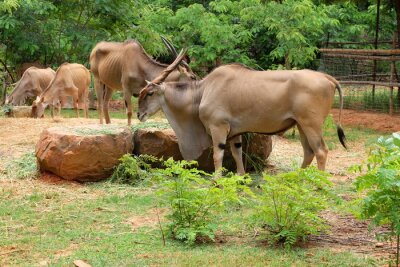 Antelope Kudu in freier Wildbahn