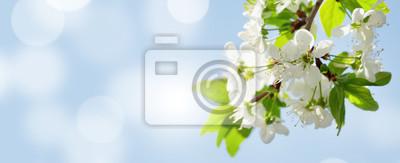 Fototapete Apple blossom spring tree