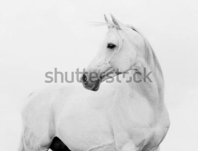 Fototapete arab horse in high key